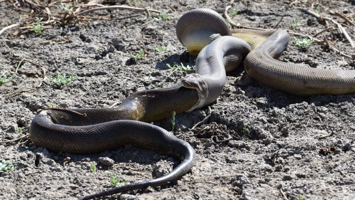 WARNING GRAPHIC IMAGES: Enormous python swallows even bigger python, but can't handle it